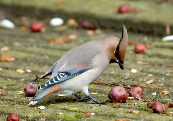Japanese waxwing Surfbirds Online Photo Gallery Search Results