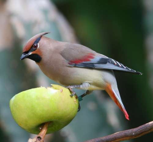 Japanese waxwing Japanese Waxwing