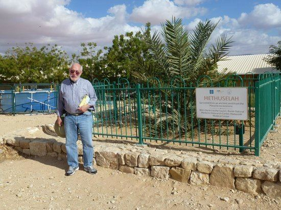 Judean date palm The Methuselah Tree a Judean Date Palm germinated from a 2000 year
