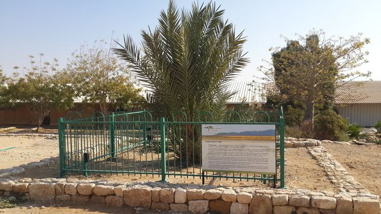 Judean date palm Modernday Methuselah Israeli date palm sprouts from 2000yearold