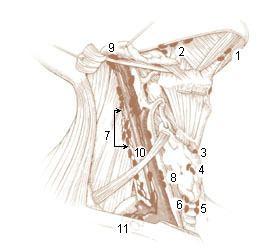 Jugulodigastric lymph node