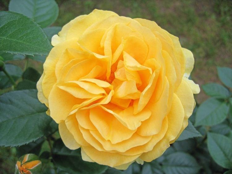 Julia Child rose julia child rose Henry Homeyer