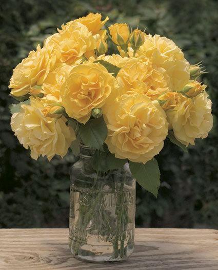 Julia Child rose Julia Child Floribunda Rose