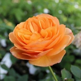 Julia Child rose Top Quality Roses Julia Child Over 270 Varieties of Roses