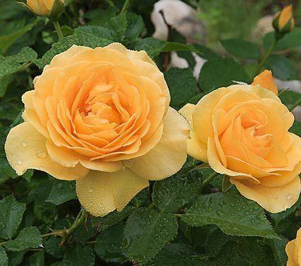Julia Child rose Julia Child Rose