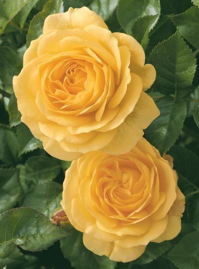 Julia Child rose Julia Child Rosa Floribunda Julia Child from Regan Nursery