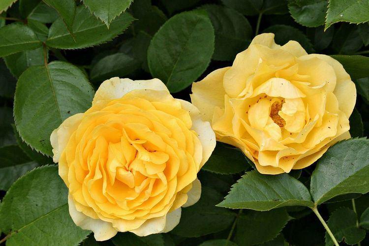 Julia Child rose httpsuploadwikimediaorgwikipediacommonsthu