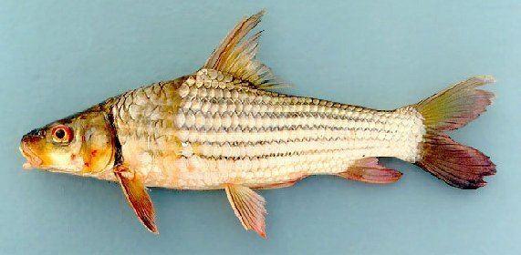 Jullien's golden carp SEAEX Thailand Fresh Water Fish of Thailand Jullien39s Golden Carp