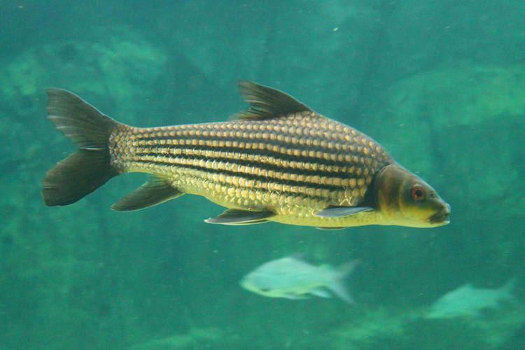 Jullien's golden carp Fish Files Jullien39s Golden Carp ZooChat