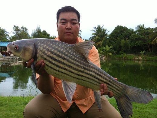 Jullien's golden carp Bangkokhooker39s Fishing in Thailand Jullien39s Golden Carp Plaa