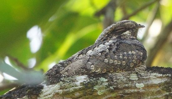 Jungle nightjar Jungle Nightjar BirdForum Opus