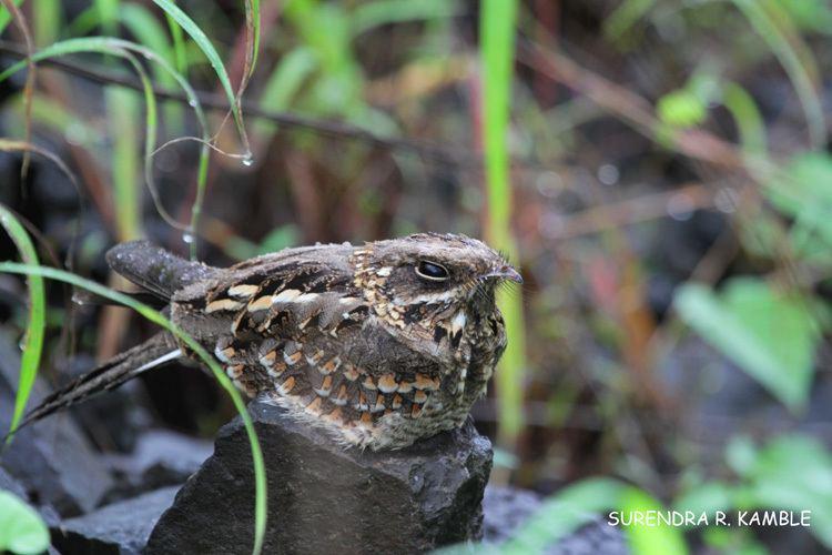 Jungle nightjar Indian Jungle Nightjar