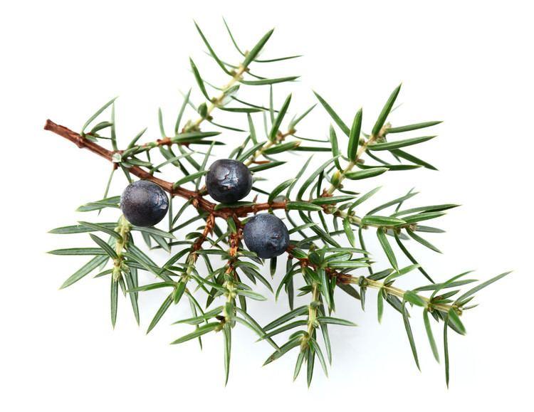 Juniper Juniper Berries Sam39s Herbs and Spices