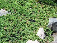 Juniperus procumbens httpsuploadwikimediaorgwikipediacommonsthu