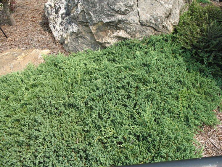 Juniperus procumbens Online Plant Guide Juniperus procumbens 39Nana39 Dwarf Japanese