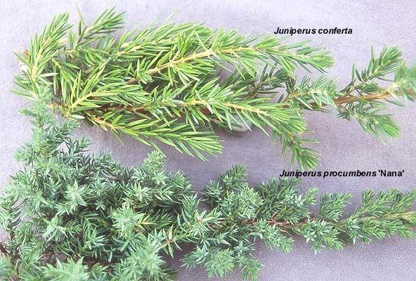 Juniperus procumbens Juniperus procumbens 39Nana39 Landscape Plants Oregon State University