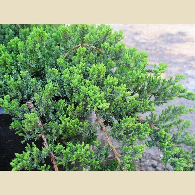 Juniperus procumbens Juniperus procumbens 39Nana39 Boething Treeland Farms
