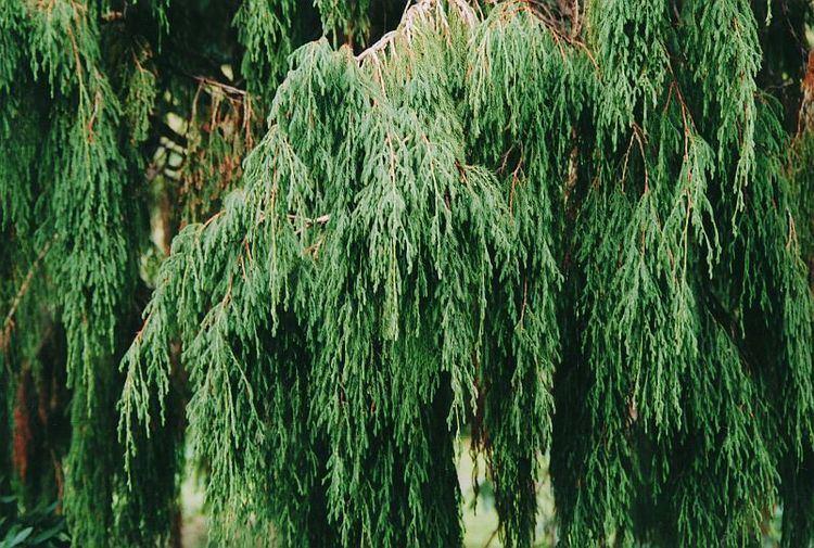 Juniperus recurva Juniperus recurva var coxii