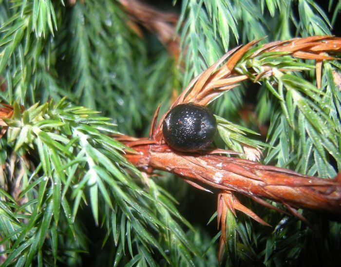 Juniperus recurva Juniperus Botanics Stories