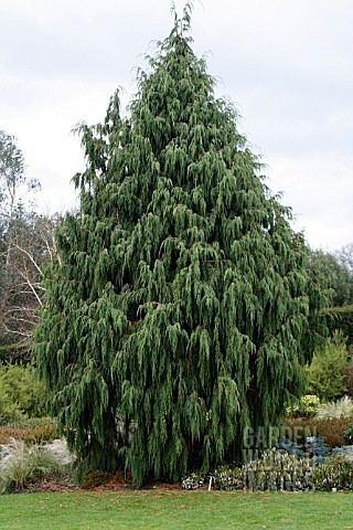Juniperus recurva MHJ7711 JUNIPERUS RECURVA COXII AT RHS ROSEMOOR Asset Details