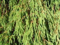 Juniperus recurva httpsuploadwikimediaorgwikipediacommonsthu