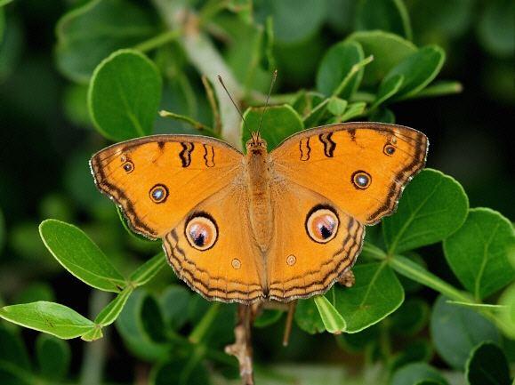 Junonia almana Butterflies of India Junonia almana