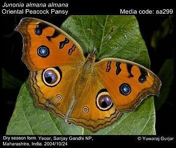 Junonia almana Junonia almana Peacock Pansy Butterflies of India