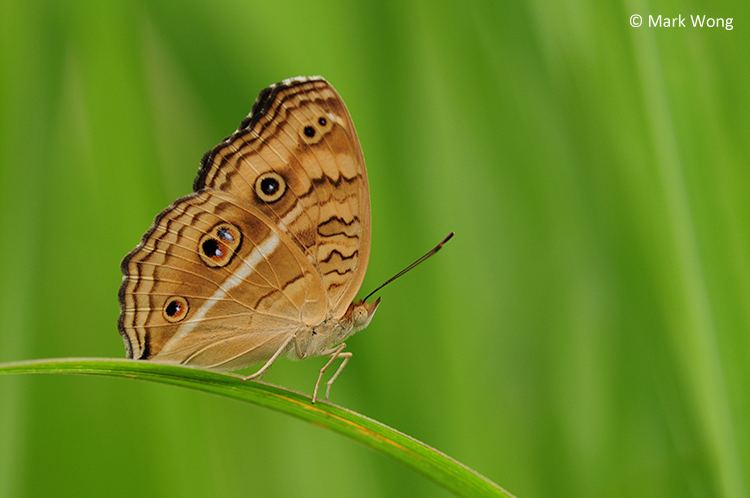 Junonia almana ButterflyCircle Checklist