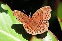 Junonia gregorii httpsuploadwikimediaorgwikipediacommonsthu