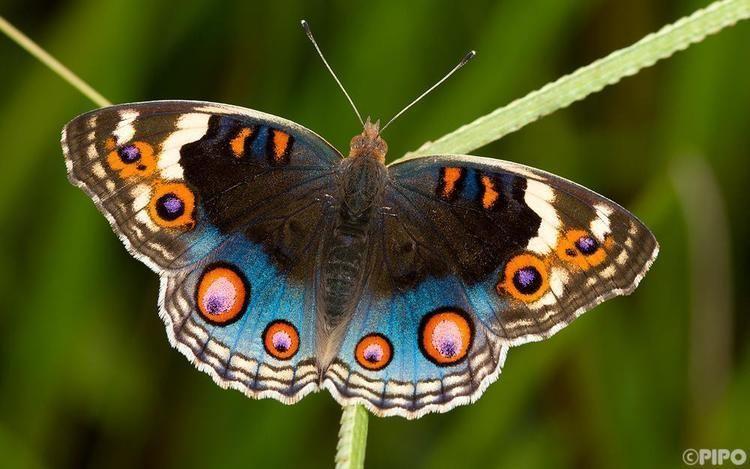 Junonia orithya Junonia orithya ocyale Blue Pansy