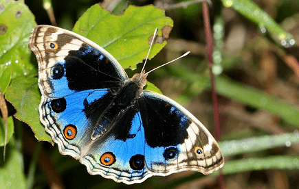 Junonia orithya Blue pansy Junonia orithya complete detail updated