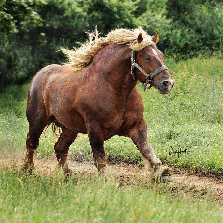 Jutland horse Jutland Horse Info Origin History Pictures Horse Breeds