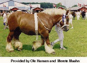 Jutland horse Breeds of Livestock Jutland Horse Breeds of Livestock