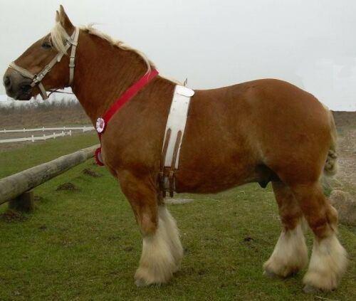 Jutland horse Jutland pictures video and information