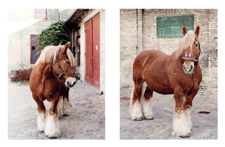 Jutland horse Carlsberg39s brewery horses The Horse Rider39s Journal
