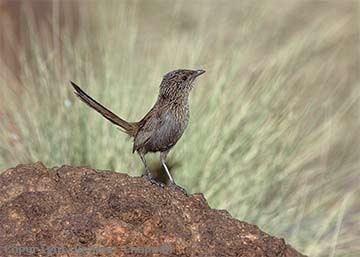 Kalkadoon grasswren Kalkadoon Grasswren Australian Birds photographs by Graeme Chapman