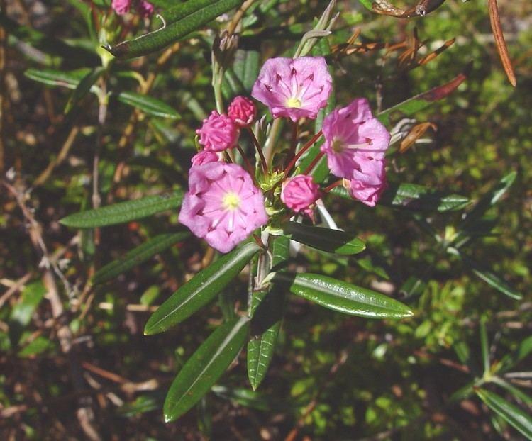 Kalmia polifolia Kalmia polifolia bog Americanlaurel bog laurel Go Botany