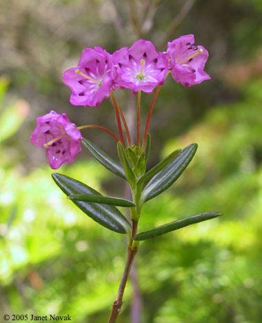Kalmia polifolia httpswwwctbotanicalsocietyorgimgpicskka