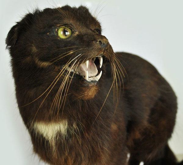 Kellas cat Meet the King of Cats From Celtic Folklore Catster