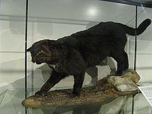 Kellas cat httpsuploadwikimediaorgwikipediacommonsthu