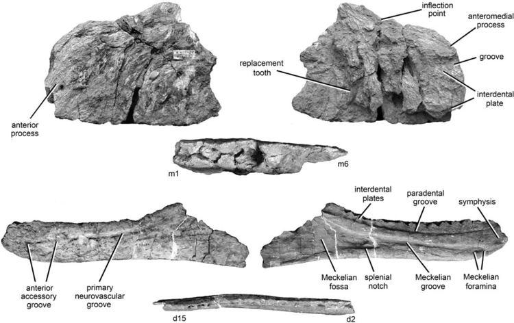 Kelmayisaurus Kelmayisaurus Wikipedia