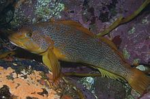 Kelp greenling Kelp greenling Wikipedia