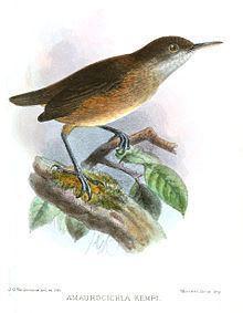 Kemp's longbill httpsuploadwikimediaorgwikipediacommonsthu