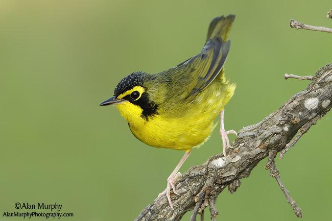 Kentucky warbler wwwalanmurphyphotographycom