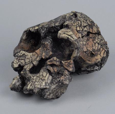 Kenyanthropus Kenyanthropus platyops Paleoanthropology