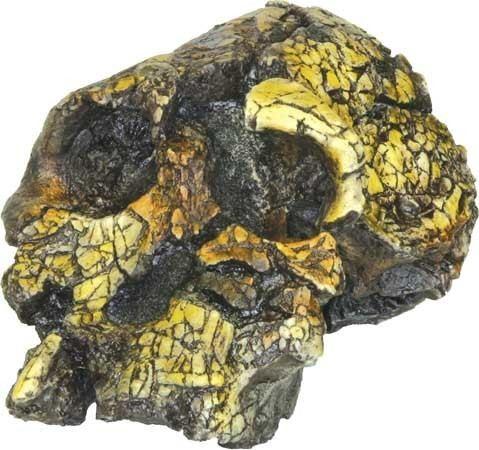 Kenyanthropus Kenyanthropus platyops paleontology Britannicacom