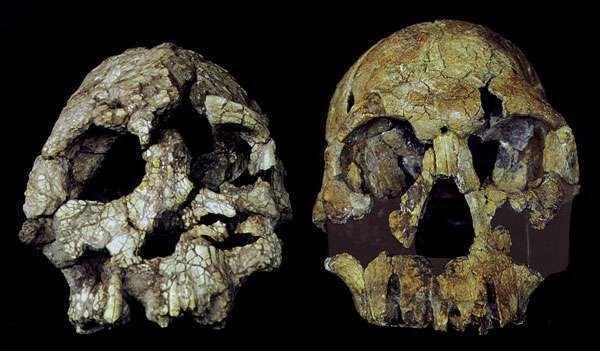 Kenyanthropus Kenyanthropus platyops