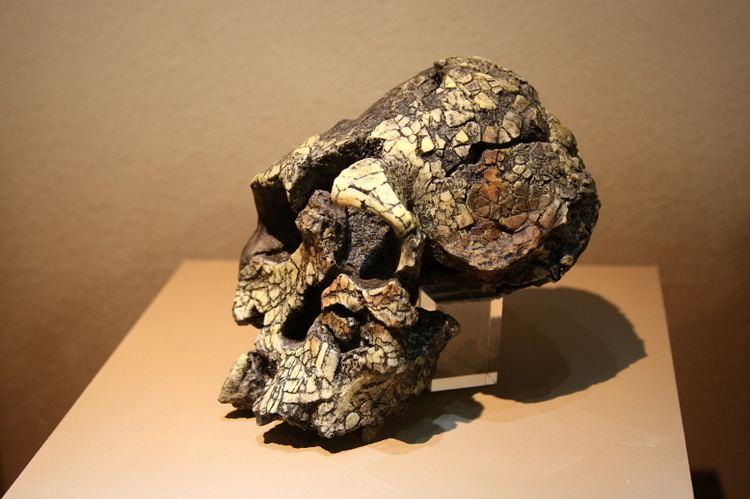 Kenyanthropus Kenyanthropus Wikipedia