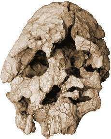 Kenyanthropus wwwtalkoriginsorgfaqshomswt40000jpg