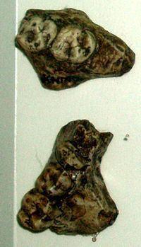 Kenyapithecus httpsuploadwikimediaorgwikipediacommonsthu